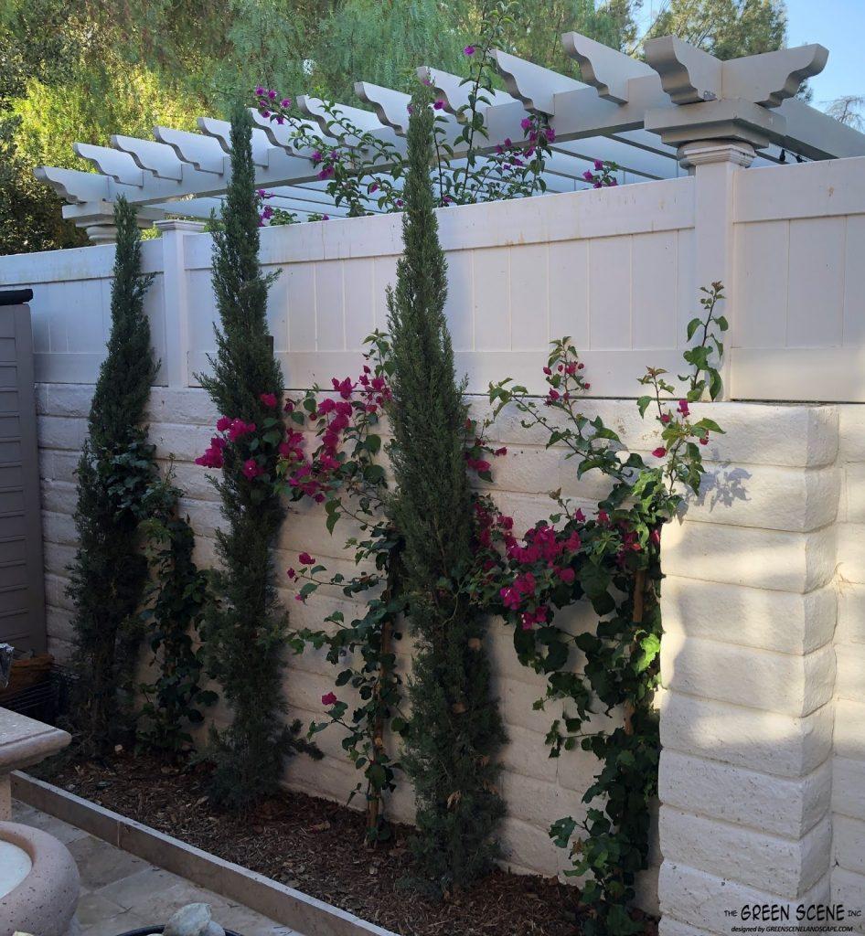 A backyard garden with Italian cypress and bougainvillea