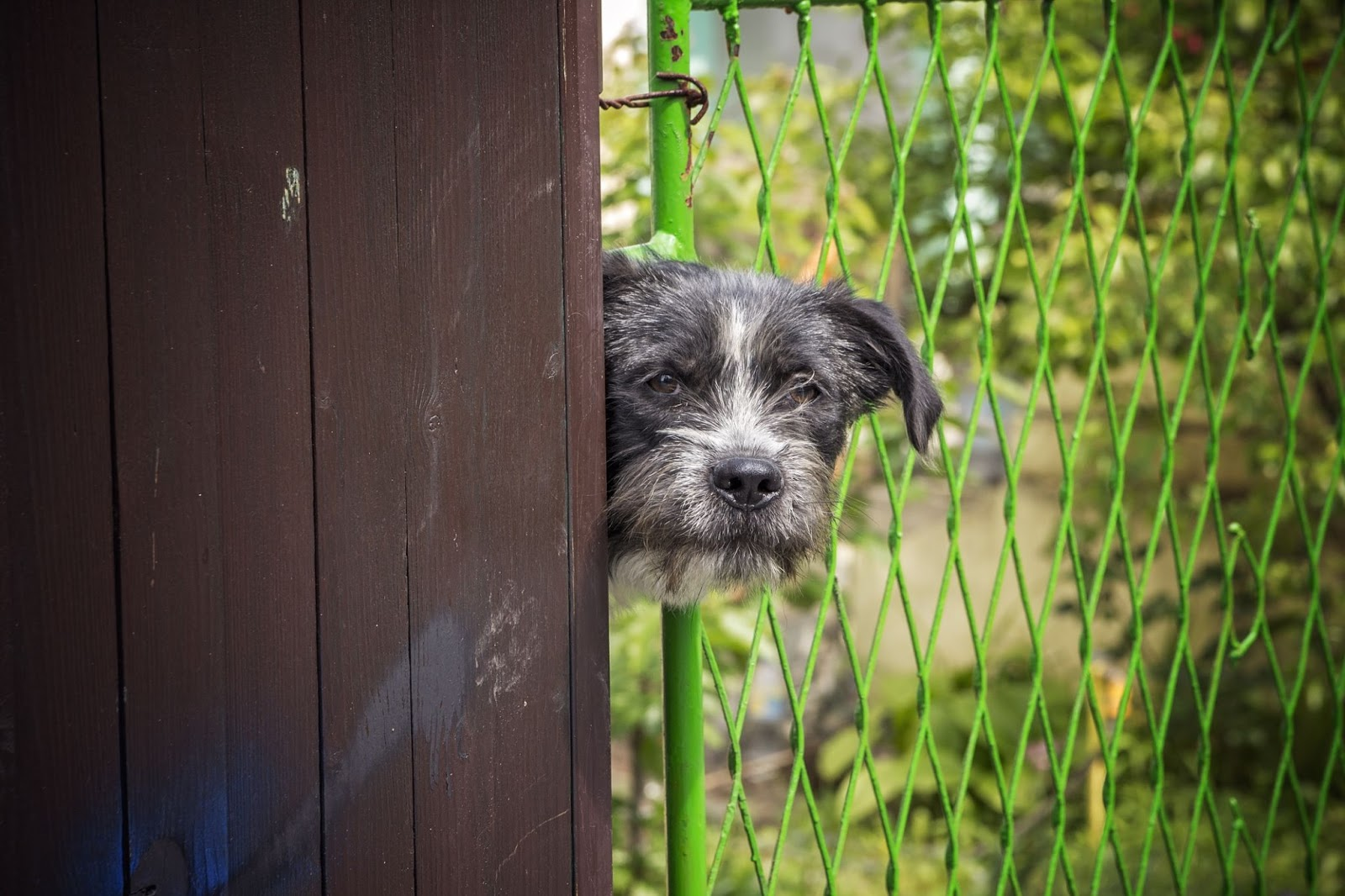 A dog is a nosey neighbor that pokes its head through a fence